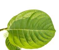 Fogliame verde tropicale con i rami isolati sugli ambiti di provenienza bianchi fotografia stock libera da diritti