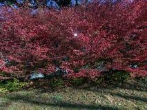 Foglie abbastanza rosse sull'albero immagini stock