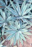 Foglie aguzze taglienti dell'agave Fotografia Stock