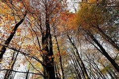 Foglie ambrate e dorate sugli alberi a Nunburnholme Yorkshire orientale Inghilterra immagini stock libere da diritti