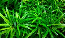 Foglie appuntite verdi delle piante ornamentali Fotografia Stock Libera da Diritti