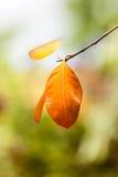 Foglie arancio di colore Immagine Stock Libera da Diritti