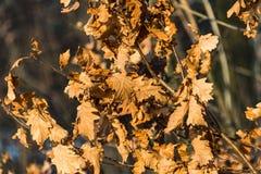 Foglie asciutte arancio della quercia nell'inverno Immagine Stock