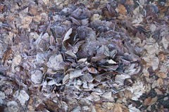 Foglie asciutte congelate Immagine Stock