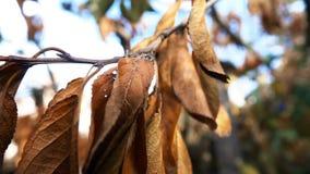 Foglie asciutte su un ramo di albero archivi video