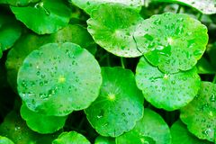 Foglie asiatica di Beautyful Centella con umido e verde nel fondo floreale naturale della felce nella foresta tropicale fotografia stock libera da diritti