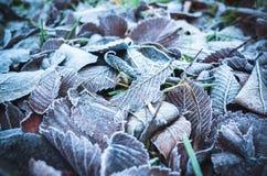 Foglie autunnali cadute con gelo Immagini Stock Libere da Diritti