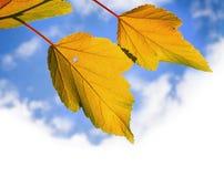 Foglie autunnali gialle sopra il cielo nuvoloso luminoso fotografia stock libera da diritti