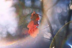 Foglie autunnali luminose della quercia sui rami Fotografie Stock Libere da Diritti