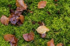 Foglie autunnali sui moos verdi fotografie stock libere da diritti