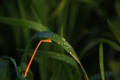Foglie bagnate con le piccole gocce del colpo del primo piano dell'acqua in aziende agricole immagine stock