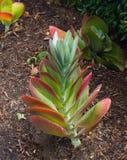 Foglie belle di rossi carmini di una pianta della pagaia della pianta succulente in un giardino botanico fotografie stock