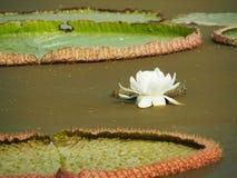 Foglie bianche di Lotus Flower And Giant Lotus nello stagno Fotografie Stock