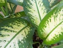 Foglie bianche e verdi uniche del caladium Fotografia Stock Libera da Diritti