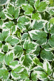 foglie bianche verde Immagini Stock
