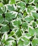 foglie bianche verde Fotografia Stock Libera da Diritti