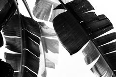 Foglie in bianco e nero della banana fotografia stock libera da diritti