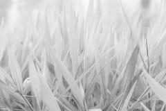 Foglie in bianco e nero di erba Immagini Stock