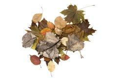 Foglie cadute autunno isolate su fondo bianco Immagini Stock Libere da Diritti