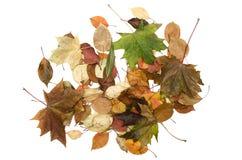 Foglie cadute autunno isolate su fondo bianco Fotografie Stock
