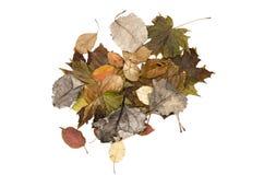 Foglie cadute autunno isolate su fondo bianco Immagine Stock Libera da Diritti