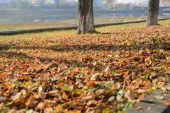 Foglie cadute dagli alberi di autunno fotografia stock libera da diritti