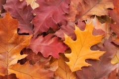 Foglie cadute della quercia rossa Autunno immagini stock