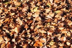 Foglie cadute di marrone di autunno come fondo Fotografia Stock
