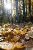 Foglie cadute foresta di autunno Immagine Stock Libera da Diritti