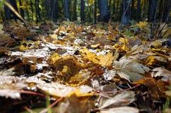 Foglie cadute foresta di autunno Fotografia Stock