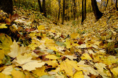 Foglie cadute giallo sulla terra Immagini Stock Libere da Diritti
