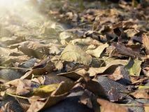 Foglie cadute illuminate dalla fine del sole su Fotografie Stock Libere da Diritti