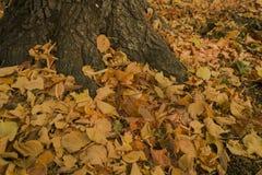 Foglie cadute sul fondo dell'albero del chesnut fotografia stock