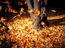 Foglie che cadono dall'albero nella caduta Fotografie Stock