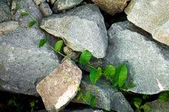 Foglie che crescono attraverso le rocce Fotografia Stock Libera da Diritti