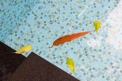 Foglie che galleggiano nello stagno all'alba Fotografia Stock