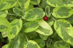 Foglie comuni aromatiche di Sage Salvia Officinalis Kew Gold Herb Bello fondo confuso della pianta con la coccinella immagine stock libera da diritti