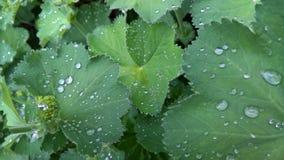 Foglie con le gocce di pioggia Immagine Stock Libera da Diritti