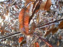 Foglie congelate Fotografia Stock