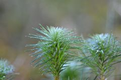 Foglie congelate del pino Immagini Stock