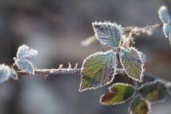 Foglie congelate del rovo Fotografie Stock