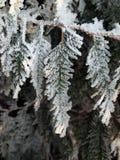 Foglie congelate del thuja Immagini Stock