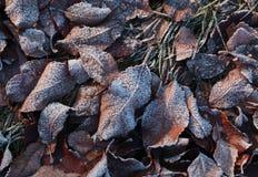 Foglie coperte da ghiaccio Immagini Stock Libere da Diritti