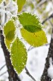 Foglie coperte di gelo nel legno di inverno Immagini Stock