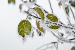 Foglie coperte di gelo nel legno di inverno Fotografia Stock Libera da Diritti