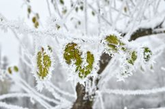 Foglie coperte di gelo nel legno di inverno Immagine Stock