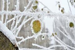 Foglie coperte di gelo nel legno di inverno Fotografia Stock