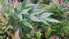 Foglie coperte goccia di pioggia Fotografia Stock Libera da Diritti