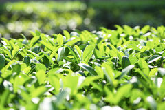 Foglie crescenti Fotografia Stock
