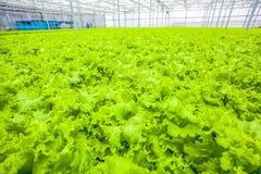 Foglie crescenti dell'insalata - alimento biologico verde Fotografia Stock Libera da Diritti
